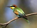 Bee-eater Merops apiaster. Photo by D. Nye