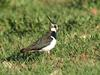 Lapwing Vanellus vanellus. Photo by D.Nye