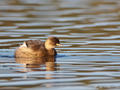 Little Grebe Tachybaptus ruficollis. A common resident of the lake. Photo by A. Stocker